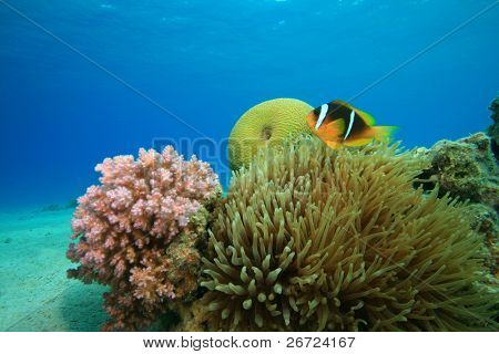 Red Sea Anemonefish and Bubble Anemone on shallow reef