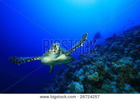 Sea Turtle and Scuba Diver
