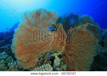 Gorgonian Fan Corals (Annella mollis) poster