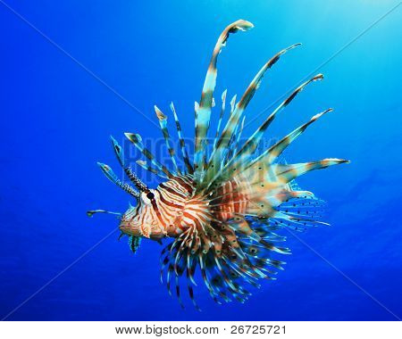 Lionfish (Pterois miles) also known as Turkeyfish or Firefish