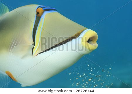 Picassofish (Rhinecanthus assasi)