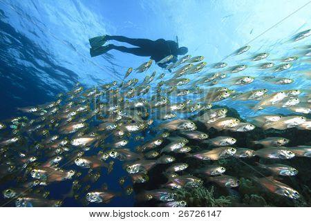 School of Fish (Glassfish) and Scuba Diver