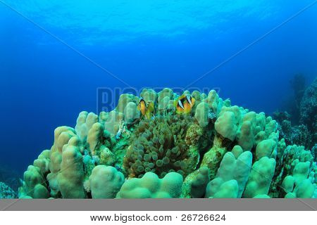 Bubble Anemone and pair of Red Sea Anemonefish in a Porites Hard Coral poster