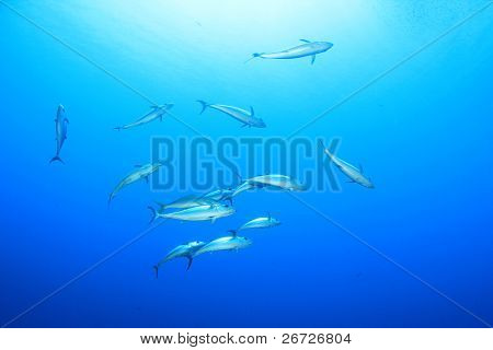 Tuna Fish in the Sea