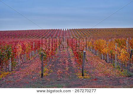 Rows Of Vineyard Grape Vines.autumn Landscape With Colorful Vineyards.grape Vineyards Of Moldova Rep