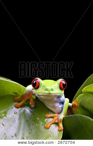 Frog On Plant Isolated Black