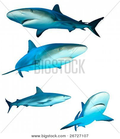 Caribbean Reef Sharks (Carcharhinus perezii) isolated on white background