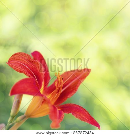 Natural Flowery Background With Orange Lily Flower On Blurred Green Fon. Copy Space For Your Text.