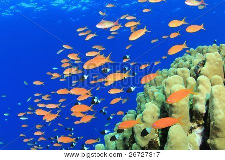 Tropical fish and Coral Reef: Lyretail Anthias and Hard corals in the Red Sea, Egypt