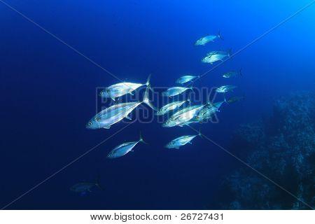 School of Tuna Fish in the Sea