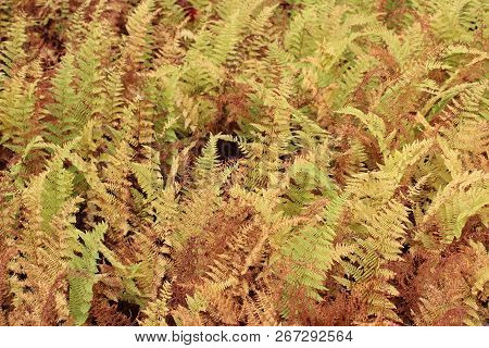 Beautiful Background Image Of Natural Ferns In Woodsy Setting, All Turning Brown And Yellow From The