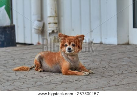 The Homeless Dog. The Dog Lies On The Ground. Old Dog With A Sad Look. Red-haired Dog On The Street.