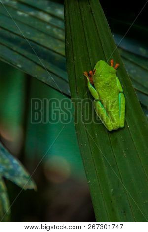 Red-eyed Tree Frog Agalychnis Callidryas In A Forest Near La Fortuna, Costa Rica
