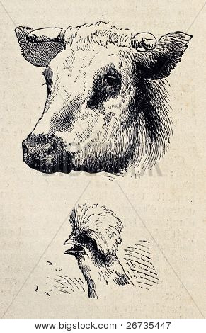 Antique illustrations of cow and rooster heads. Original, from drawing of Blanchard and Lambert, was published on L'Illustration, Journal Universel, Paris, 1860