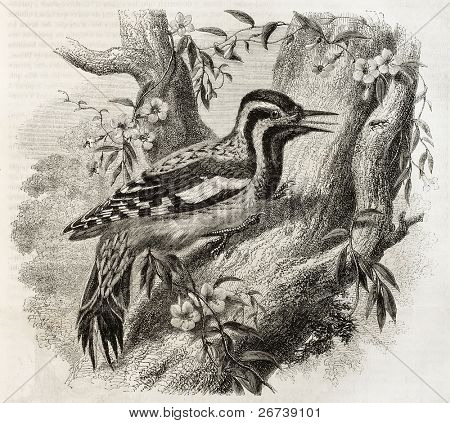 Old illustration of Woodpecker in North America: Yellow-bellied Sapsucker (Sphyrapicus varius). Created by Freeman, published on Magasin Pittoresque, Paris, 1850 poster
