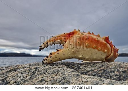 The Red King Crab (paralithodes Camtschaticus), Also Called Kamchatka Crab, Is A Species Of King Cra