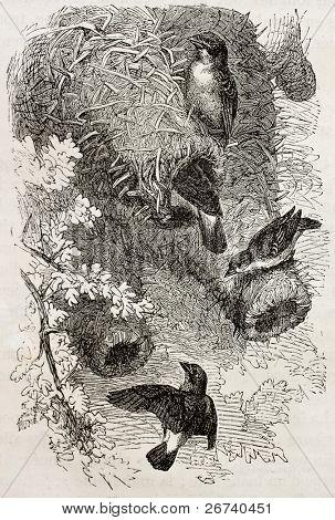 Old illustration of White-browned Sparrow-Weaver (Plocepasser Mahali). Created by Kretschmer and Jahrmargt, published on Merveilles de la Nature, Bailliere et fils, Paris, 1878