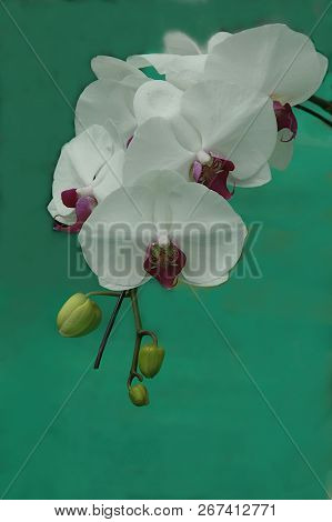 Bunch Of Orchids With White Sepals, Column And Purple Lip