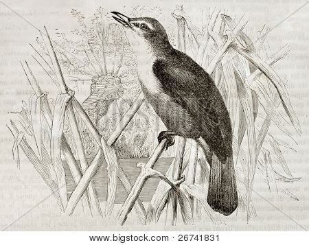 Great Reed Warbler old illustration (Acrocephalus arundinaceus). Created by Kretschmer, published on Merveilles de la Nature, Bailliere et fils, Paris, 1878