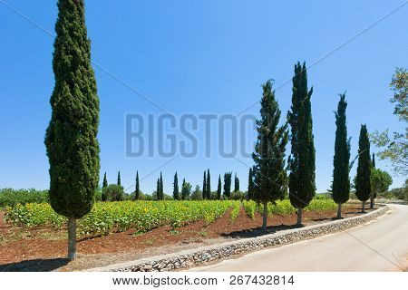 Santa Cesarea Terme, Apulia, Italy - Sunflowers On A Field Before The Harvest Season