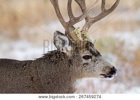 Wild Deer In The Colorado Great Outdoors - Mule Deer Buck With Grass On His Antlers