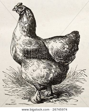 Old illustration of Cochin chicken (gallus gallus). Created by Lavielle and Jcque, published on Merveilles de la Nature, Bailliere et fils, Paris, ca. 1878