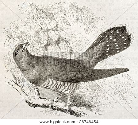 Common Cuckoo old illustration (Cuculus canorus). Created by Kretschmer, published on Merveilles de la Nature, Bailliere et fils, Paris, ca. 1878
