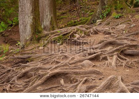 Fragment of Baden-Powell Trail covered by roots, North Vancouver, Canada.