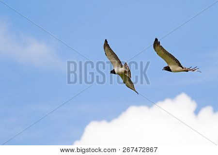 Black chested Snake eagle African bird of prey in flight hovering in the sky at Ngorongoro Crater, Arusha Region, Tanzania, East Africa (Circaetus pectoralis)