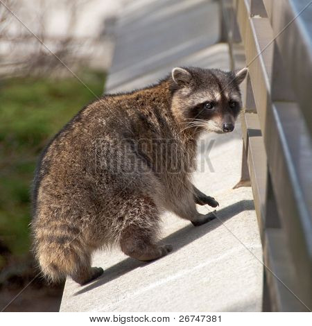Tailless raccoon looking back.