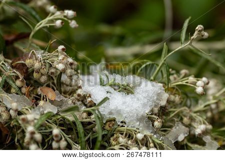 Green Grass, Branches And Stems Under The First Snow. Details Of Autumn Nature. Plants Covered With