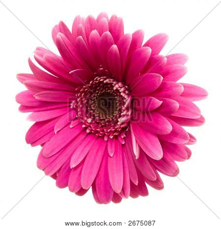 Pink Gerbera Isolated On White