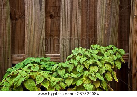 An Old Wooden Stockade Fence Is Behind A Lush Green Patchouli Plant Used To Make Essential Oils. Cop