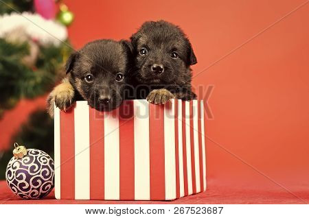 New Year Of Dog, Puppy In Present Christmas Box At Xmas Tree On Red Background, Winter Holiday Celeb