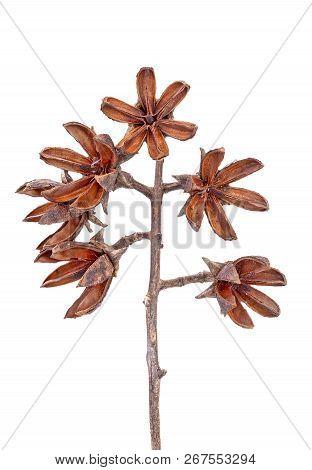 Dried Seeds Of Thai Crape Myrtle (lagerstroemia Floribunda Jack) On White