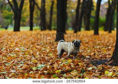 Purebred Dog On The Autumn Lawn In The Park During A Walk. Autumn In The City Park. Pug During A Wal