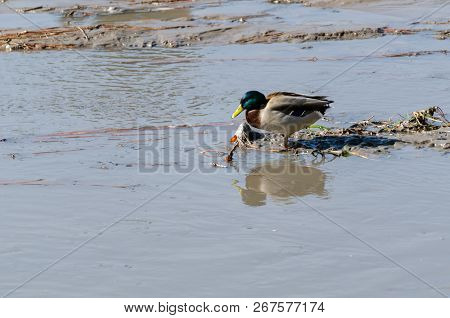 Mallard Duck Is Struggling To Live In Less And Dirty Water