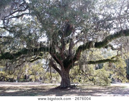 Old Florida Oak Tree With Spanish Moss