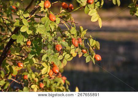 Growing Rose Hip Berries On A Sunlit Shrub