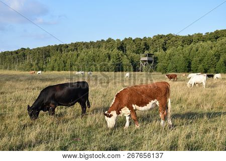 Group Of Grazing Cattle In A Wetland With A Birwatching Tower At The Swedish Island Oland