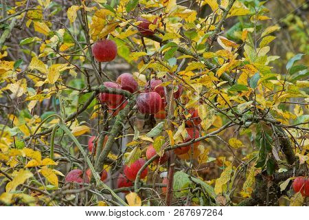 Red Apples On A Branch With Yellow And Green Leaves