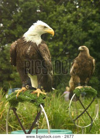 Predator Pair Of Birds
