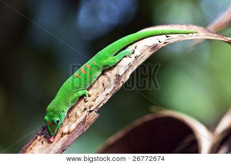 Green madagascar gecko eating ants