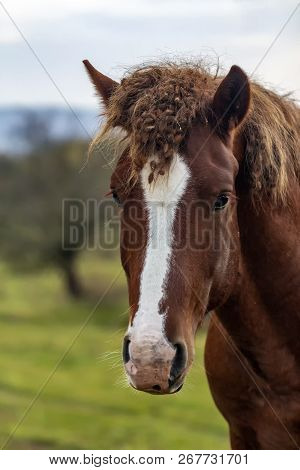 Unkempt Horse. Wild Horse. Unbrushed Bangs Horse. Portrait Of An Animal.