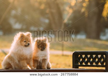 Two Young Red Puppy Pomeranian Spitz Puppy Dogs Sitting On Park Bench Outdoor.