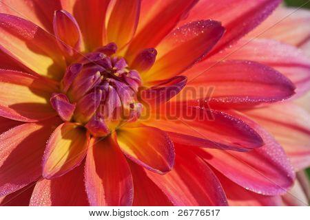 bunte Dahlie Blume mit Morgentau Tropfen