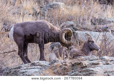 Mating Pair Of Bighorn Sheep - Bighorn Sheep Are Wild Animals In The Rocky Mountains Of Colorado