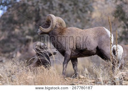 Bighorn Sheep Are Wild Animals In The Rocky Mountains Of Colorado. Mature Ram Watching Over His Herd