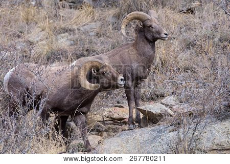 Bighorn Sheep Are Wild Animals In The Rocky Mountains Of Colorado - Two Bighorn Rams