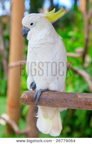 sulphur-crested cockatoo in the park poster
